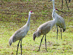 Sandhill Cranes annual return to LaRue County
