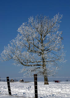 Photo of an ice covered tree on Alvin Brooks Road.