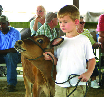Cyrus Bivens showed his guernsey calf in the open dairy cattle show.