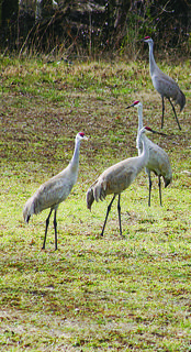 Sandhill cranes gathered near Creekfront Park in Hodgenville last week. According to Kentucky Fish and Wildlife Resources, Kentucky is on their winter migration route. Theyll eventually find nesting grounds in the Great Lakes Region after wintering in Florida. More birds can be spotted along Harned-McCubbins Road.