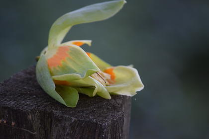Waiting for the class of 2016 to arrive at the Park for their annual class photo in front of the Memorial I found this tulip tree bloom. I'm not sure if someone placed it on this fence post or if it had fallen and landed just right, either way it caught my attention.