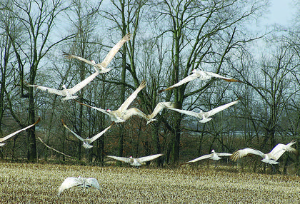 Sandhill Cranes are large birds which have mostly grayish feathers. The forehead has a bright red patch that is one of the most noticeable features of the bird, while the cheeks are white. Sandhills fly with neck and legs extended.