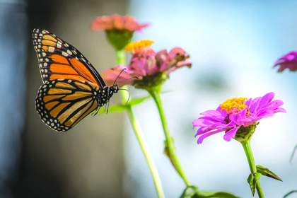 """Story behind the shot:  Last spring, I planted a flower garden with zinnias and cosmos to draw butterflies and hummingbirds into my back yard in Buffalo. I had tried all summer to get a photo of a butterfly """"In Flight"""" and finally on a warm, late October afternoon was able to capture this monarch.  I shot this photo at a fast shutter speed to stop any movement or blur on a Nikon d7500. My passion is wildlife and nature photography but I also love taking photos of family and friends and capturing those precious memories. My future plans are to keep on pressing that shutter button."""