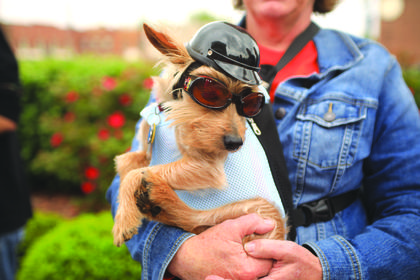Toto the dog prepares to ride in the poker run