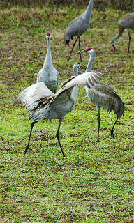 Sandhill cranes flap their wings, jump and throw sticks in the air as part of a mating ritual.