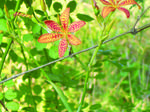Blackberry Lily