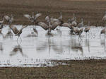 Return of the sandhill cranes