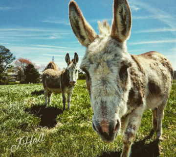 "Honorable mention ""Donkeys on my parents' farm"" taken by Jon Hall"