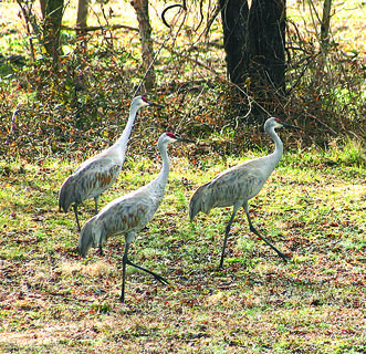 For the first time in nearly a century, Kentucky just completed a hunting season on sandhill cranes. The season, which ran from Dec. 17, 2011, to Jan. 15, 2012, resulted in a harvest of 50 birds.